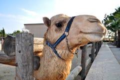 Camel Head. Shot in safari park Royalty Free Stock Images