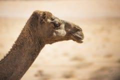 Camel head side view. Desert animal Stock Photos