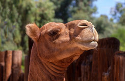 Camel Head Royalty Free Stock Image