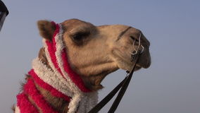 Camel head on  sky background in India Stock Image