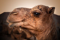 Camel head. Travel through the desert Stock Images