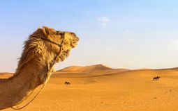 Camel head in wide desert Royalty Free Stock Photos