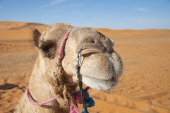 Camel headshot Stock Photography
