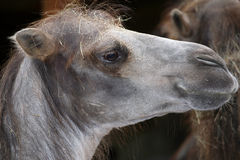 Camel headshot. Stock Photography