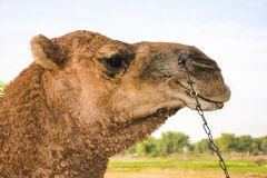 Camel Headshot. Clear camel headshot in a rural area Royalty Free Stock Photo