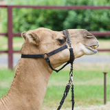 Camel Headshot. A camel headshot with harness for riding or travel Stock Photography