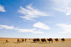 Camel heard royalty free stock photo