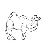Camel is herbivorous enduring mammal with humps. Camel is herbivorous enduring mammal with hump on its back with reserve of fat. Vector monochrome freehand ink Stock Photography