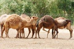 Camel herd. Walking in a field Stock Photo
