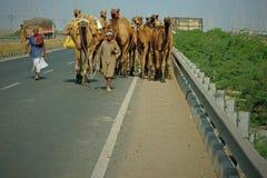 Camel herd on the highway Stock Photo