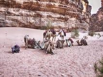 Camel Herd At Rest In Wadi Rum Stock Image
