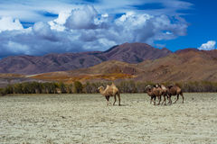 Camel herd in steppe landscape Royalty Free Stock Photo