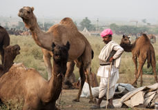The camel herder with the camels. Camel trader of Pushkar, Rajasthan, India wearing a pink turban standing with his camels Stock Photography