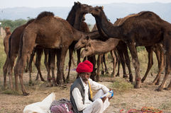 The camel herder with his camels. Camel trader of Pushkar, Rajasthan, India sitting on the fair ground in front of the camels Stock Photos