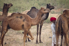 The camel herder of Pushkar Royalty Free Stock Photography