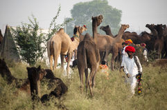 The camel herder of pushkar. Camel trader of Pushkar, Rajasthan, India wearing red turban walking on the fair ground Royalty Free Stock Photography