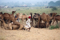 The camel herder. Camel trader of Pushkar, Rajasthan, India running in the fair ground in front of his camels Royalty Free Stock Photo