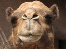Camel. Here we have a camel that wanted his picture taken Royalty Free Stock Image