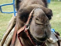 A camel for hire at a state fair Royalty Free Stock Images