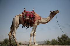 Camel on his own. Picture of a camel standing alone Royalty Free Stock Photography
