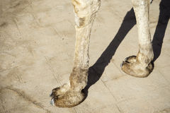 The camel hooves. Camel foot cast shadows on the road stock photo
