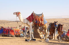 Camel and horses Royalty Free Stock Images