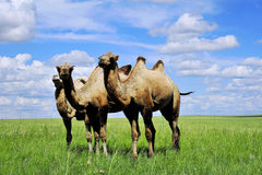 Camel Hulunbeir prairie Royalty Free Stock Image