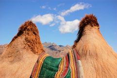 Camel Humps. Looking through the humps of a camel Royalty Free Stock Image