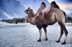 Camel at hunder dune Royalty Free Stock Images