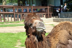 Camel. Image of camel in Zoo garden Belgrade, Serbia stock image