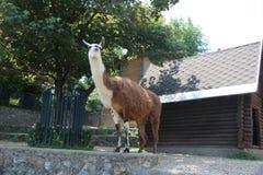 Camel. Image of camel in Zoo garden Belgrade, Serbia stock images