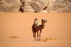 Camel In Libyan Desert