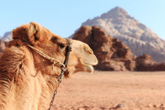 Free Camel In The Wadi Rum Desert, Jordan, At Sunset Stock Photography - 53072552