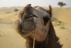 Camel in India Royalty Free Stock Photos