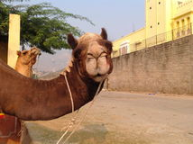 Camel in india Royalty Free Stock Photography