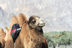 Camel at India Royalty Free Stock Photos