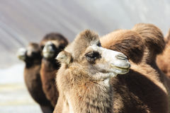 Camel at India Stock Photos