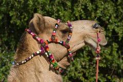 Camel, India Stock Photos
