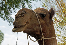 A camel in India. A camel waits for her rider in a small village in India Stock Photos