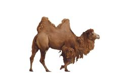 Camel isolated. A isolated picture of a camel on white background Stock Photo