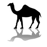 Camel isolated on white Stock Photography