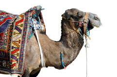 Camel isolated on white background Royalty Free Stock Image
