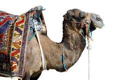 Camel isolated on white background. Isolated camel with colorful saddle-cloth Royalty Free Stock Image