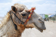 Camel in Israel. A camel close to the Dead Sea in Israel Stock Image