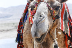Camel in Israel. A camel close to the Dead Sea in Israel Royalty Free Stock Image