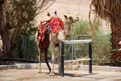 Camel in Israel kibbutz. In desolate wilderness Royalty Free Stock Photo