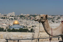 Camel in Jerusalem. Camel overlooking the old city stock photos