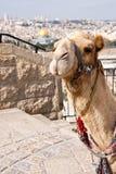 Camel - Jerusalem stock image