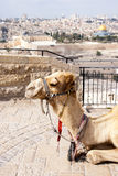 Camel Jerusalem Royalty Free Stock Photos