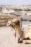 Camel Jerusalem Royalty Free Stock Photos